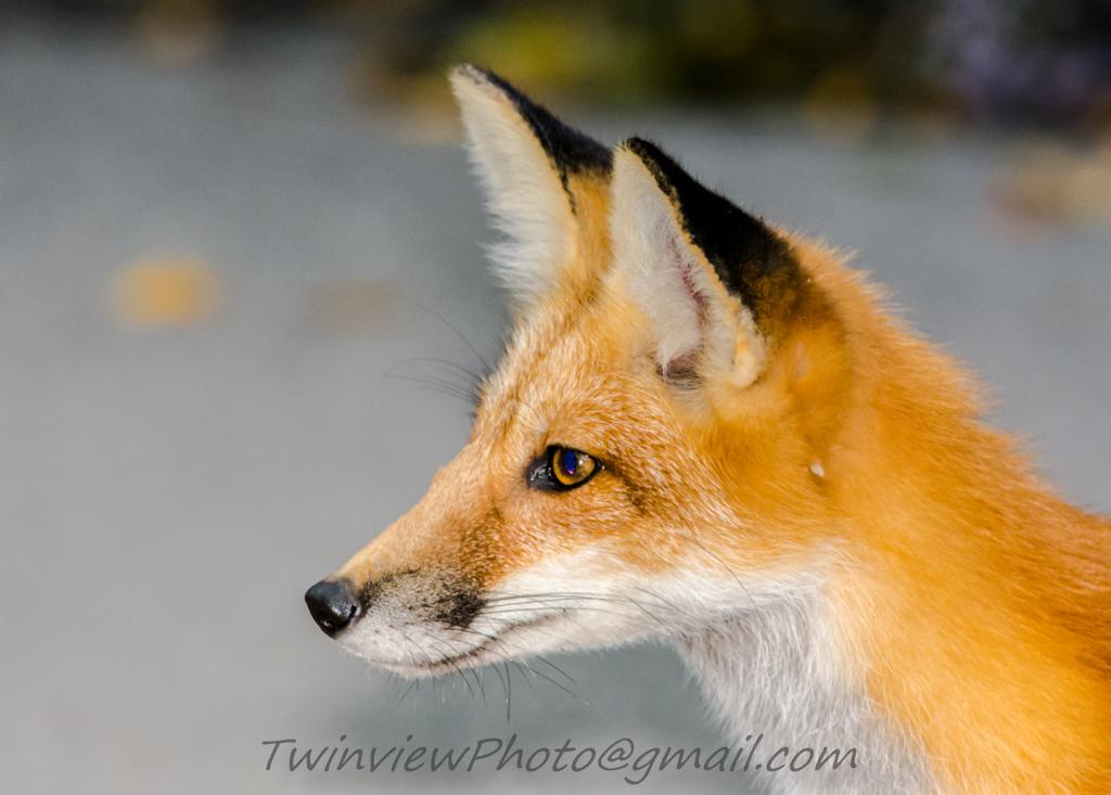 le renard se prend pour une panthère... 002_3210