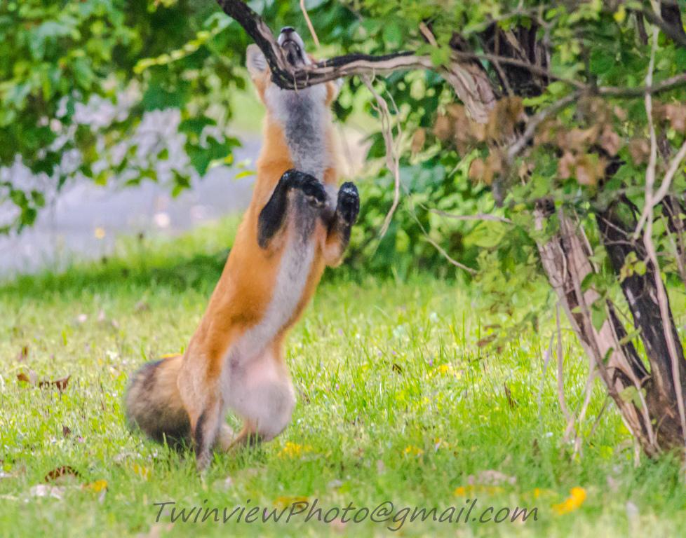 le renard se prend pour une panthère... 002_3211