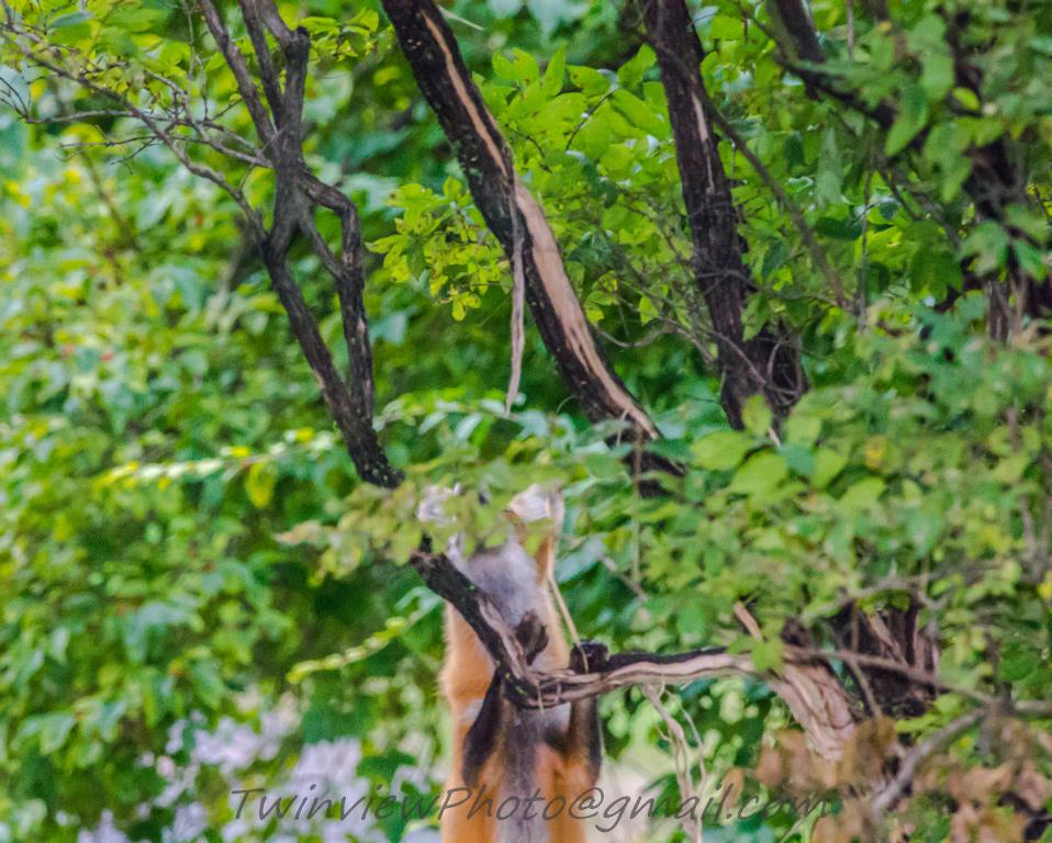 le renard se prend pour une panthère... 002_3212