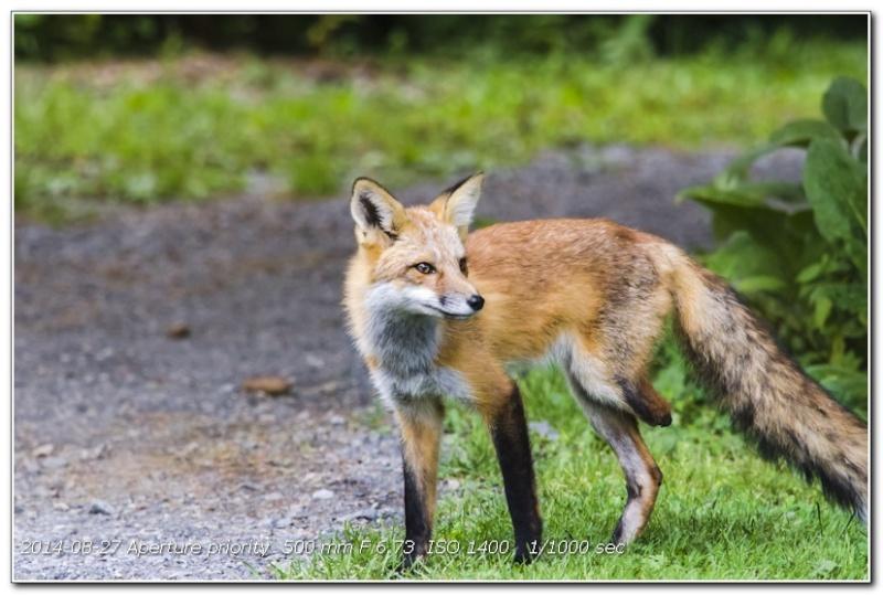Des nouvelles du petit renard à 3 pattes du jardin 106_0210