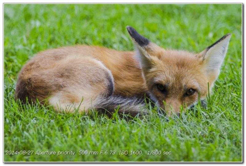 Des nouvelles du petit renard à 3 pattes du jardin 106_0211