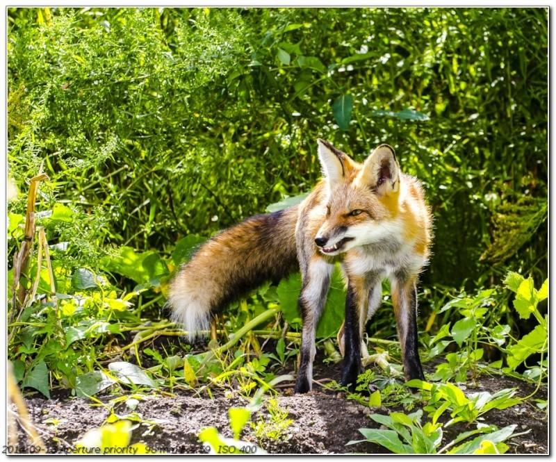 Et le renard prévient _1061510