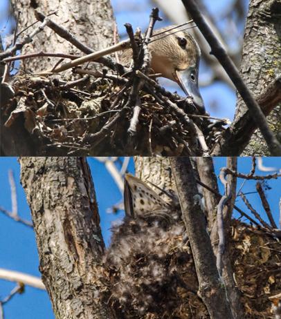canard femelle (couve dans un arbre) Canard10
