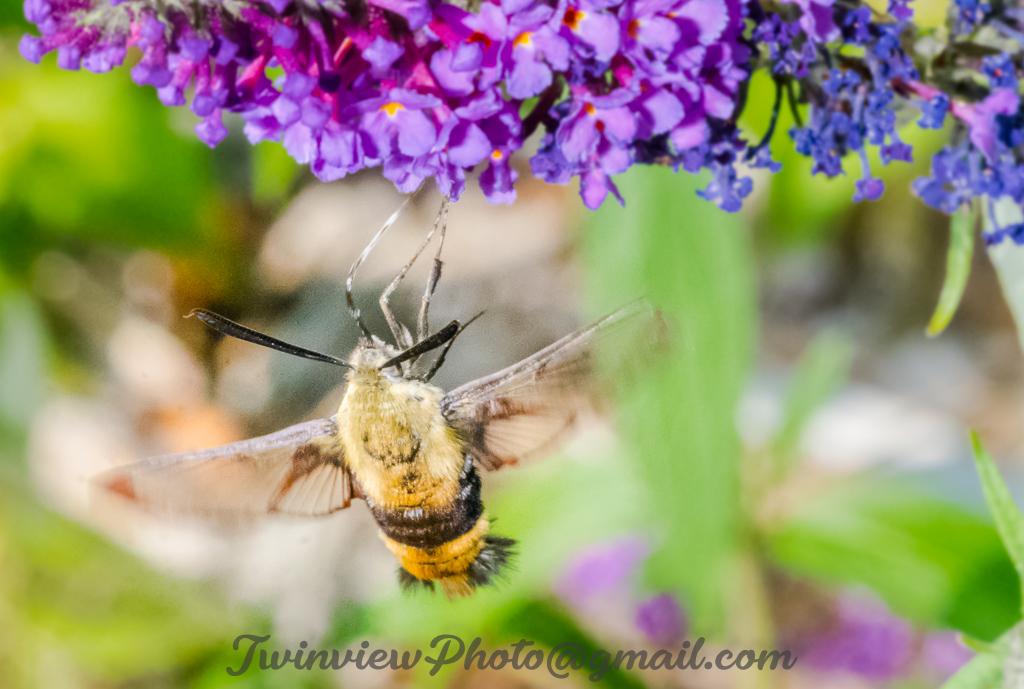 Papillon Sphinx Dsc_0510