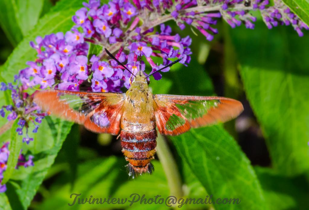 Papillon Sphinx Dsc_0511