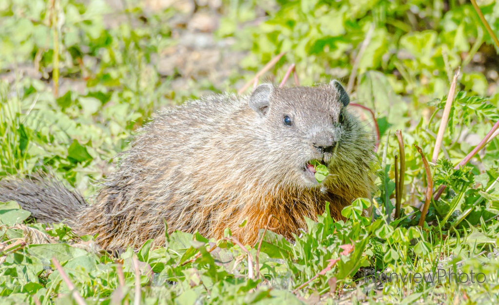 Marmotte Dsc_2112