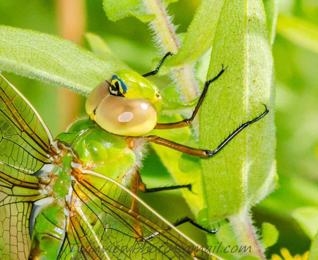 une libellule que je n'avais jamais vue Dsc_3211