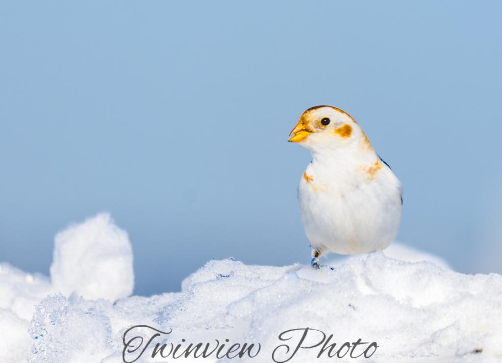Plectrophanes des neiges Dsc_7710