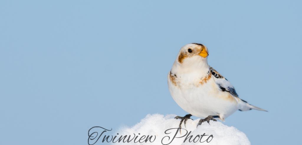 Plectrophanes des neiges Dsc_7711