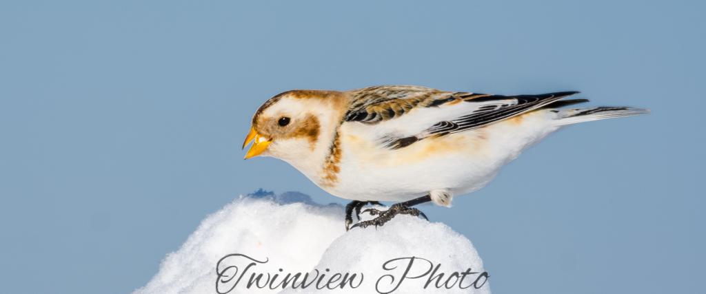 Plectrophanes des neiges Dsc_7815