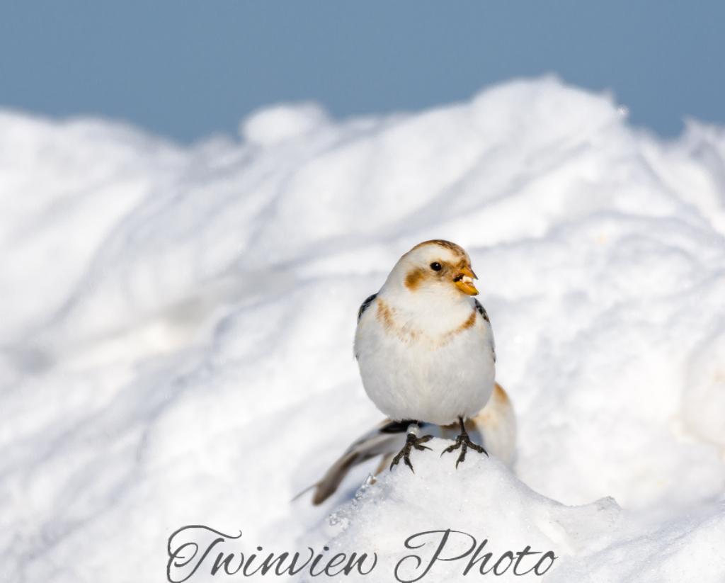 Plectrophanes des neiges Dsc_7816