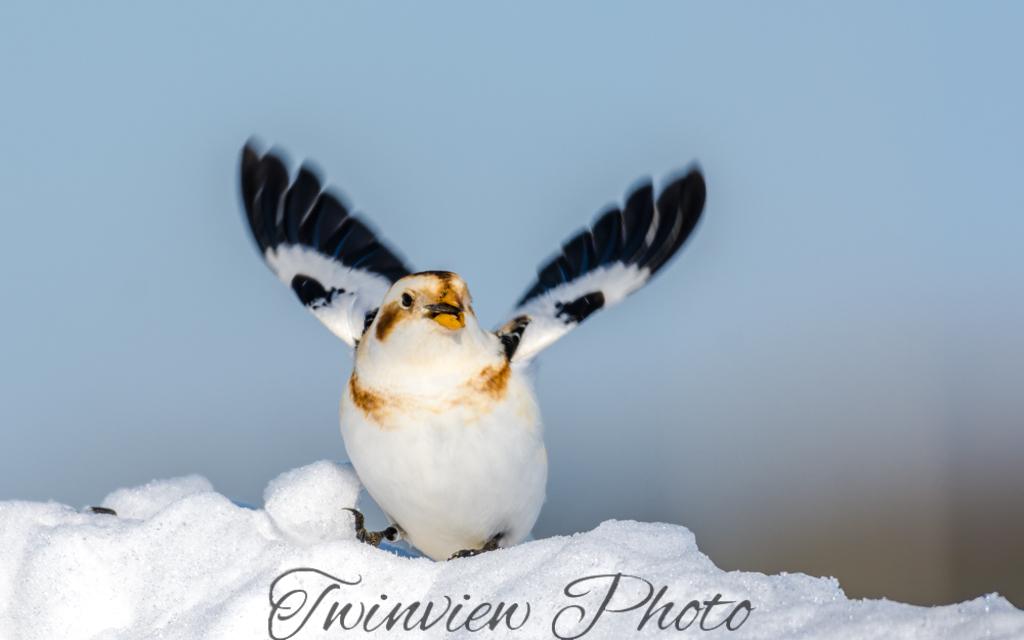 Plectrophanes des neiges Dsc_7818