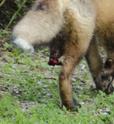 Des nouvelles du petit renard à 3 pattes du jardin Dsc_5613