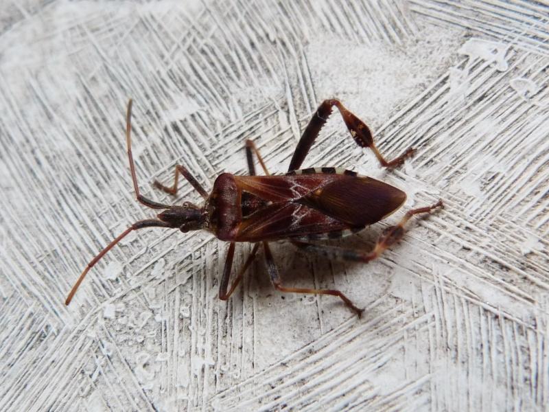 [Leptoglossus occidentalis] Bel inconnu.. 510