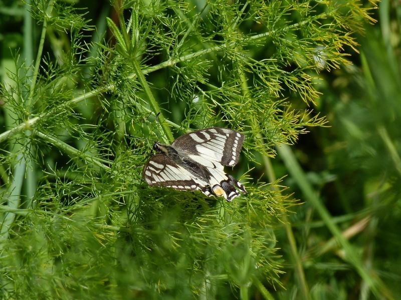 Papilio machaon, Le Machaon, le Grand Porte-Queue, P1500310