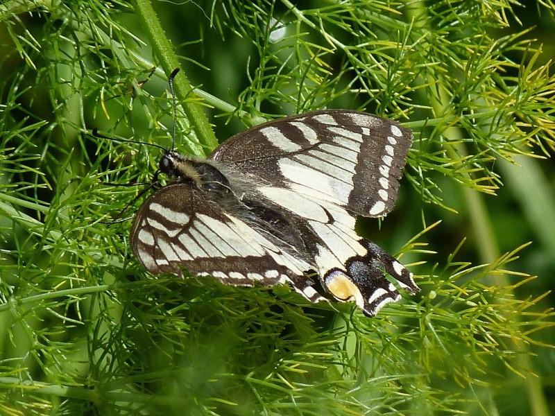 Papilio machaon, Le Machaon, le Grand Porte-Queue, P1500311