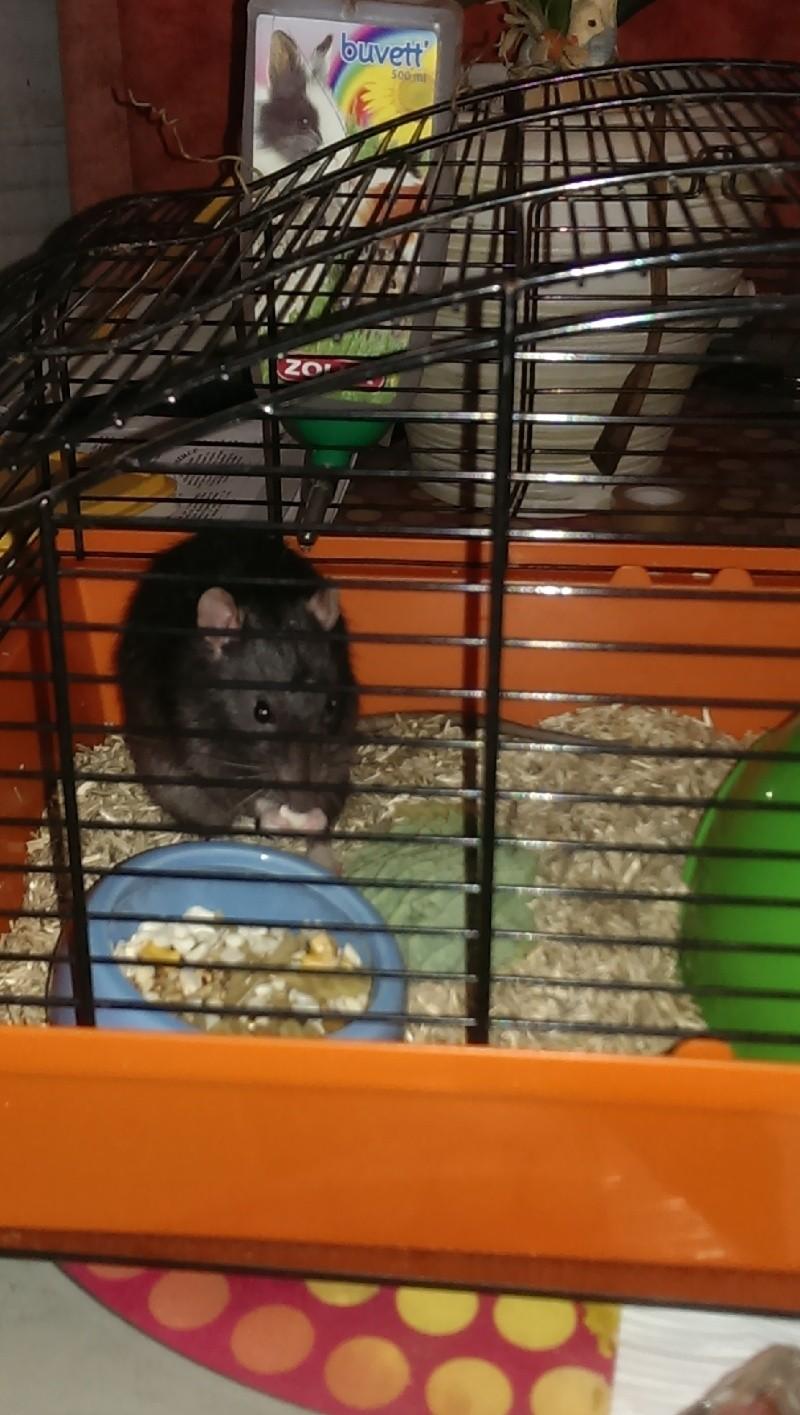 Replacement d'un rat mâle de 8-9 mois (44) Imag0011