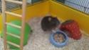 Replacement d'un rat mâle de 8-9 mois (44) 10578214