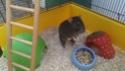 Replacement d'un rat mâle de 8-9 mois (44) 10589911
