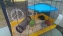 Replacement d'un rat mâle de 8-9 mois (44) 10592511