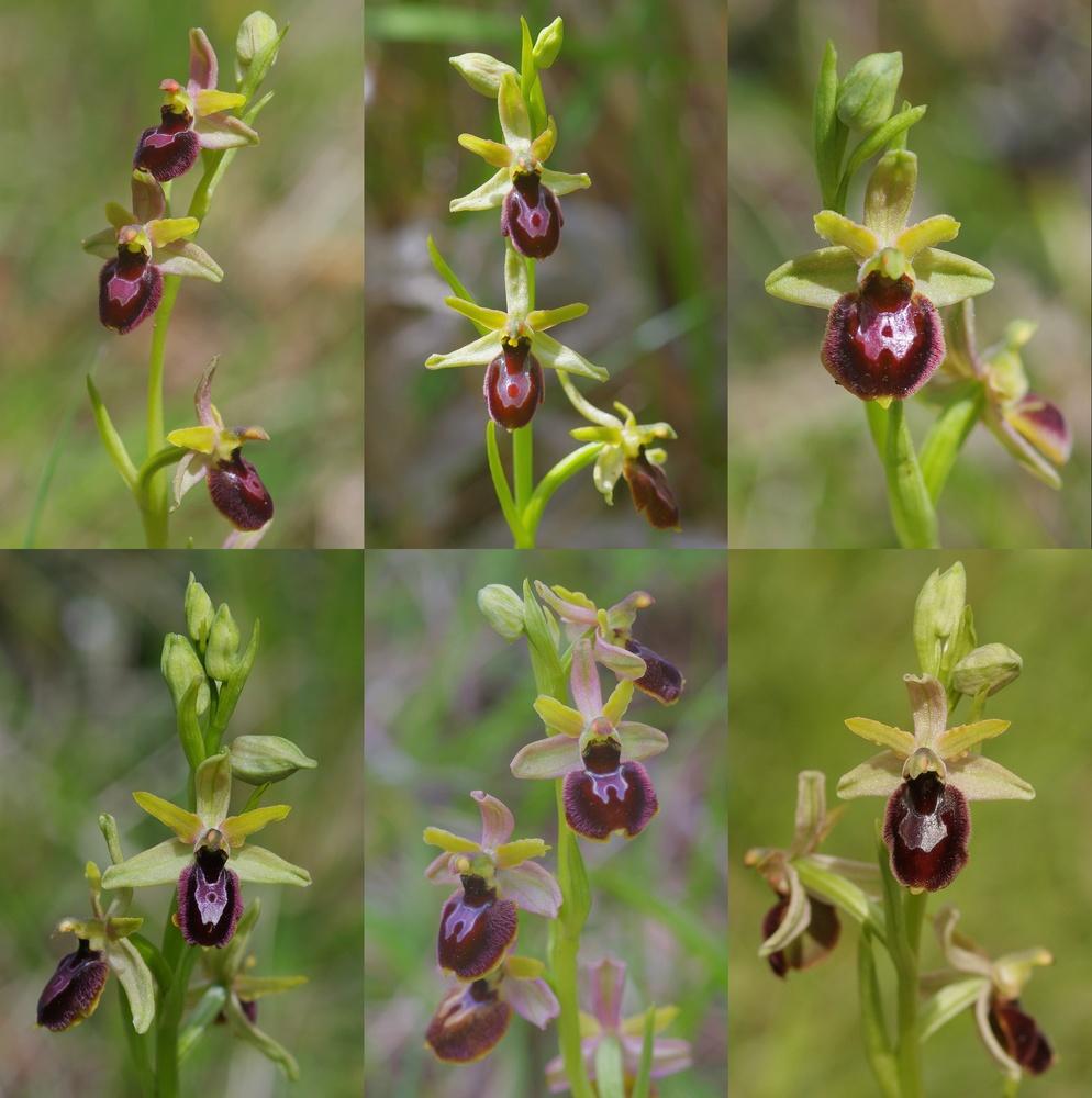 Ophrys bertolonii saratoi ( drumana ) x litigiosa (araneola) Fig_1310