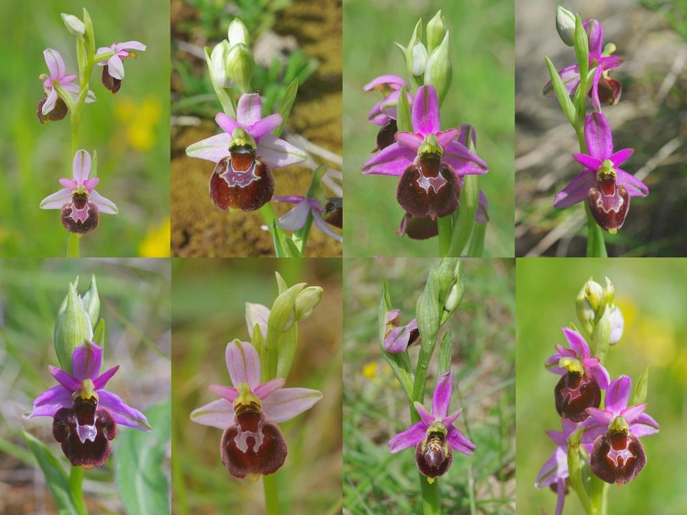 Ophrys bertolonii saratoi ( O. drumana ) x pseudoscolopax Fig_1411