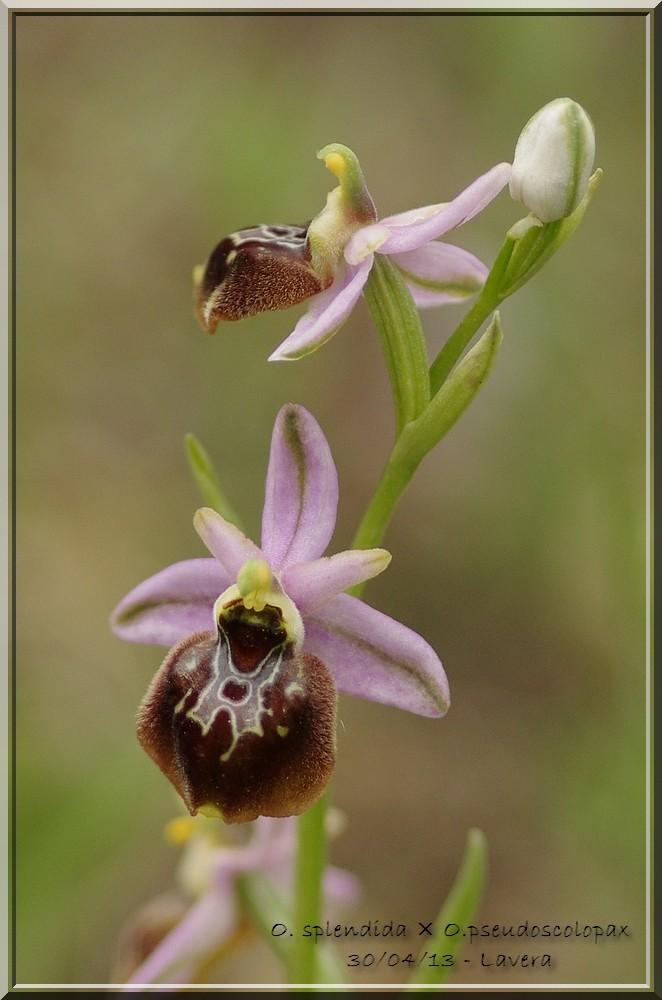 Ophrys pseudoscolopax × splendida Imgp0433
