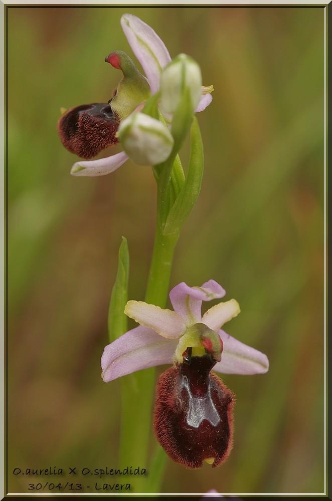 """Ophrys bertolonii bertolonii (""""aurelia"""")  × splendida Imgp0435"""