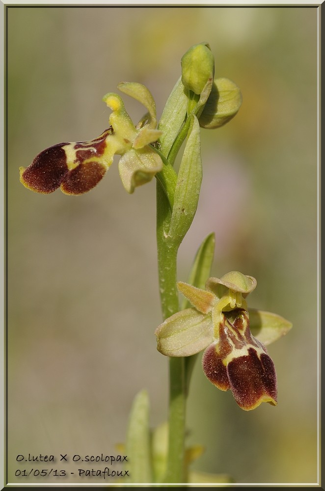 Ophrys lutea × scolopax Imgp0817