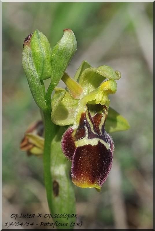 Ophrys lutea × scolopax Imgp1716
