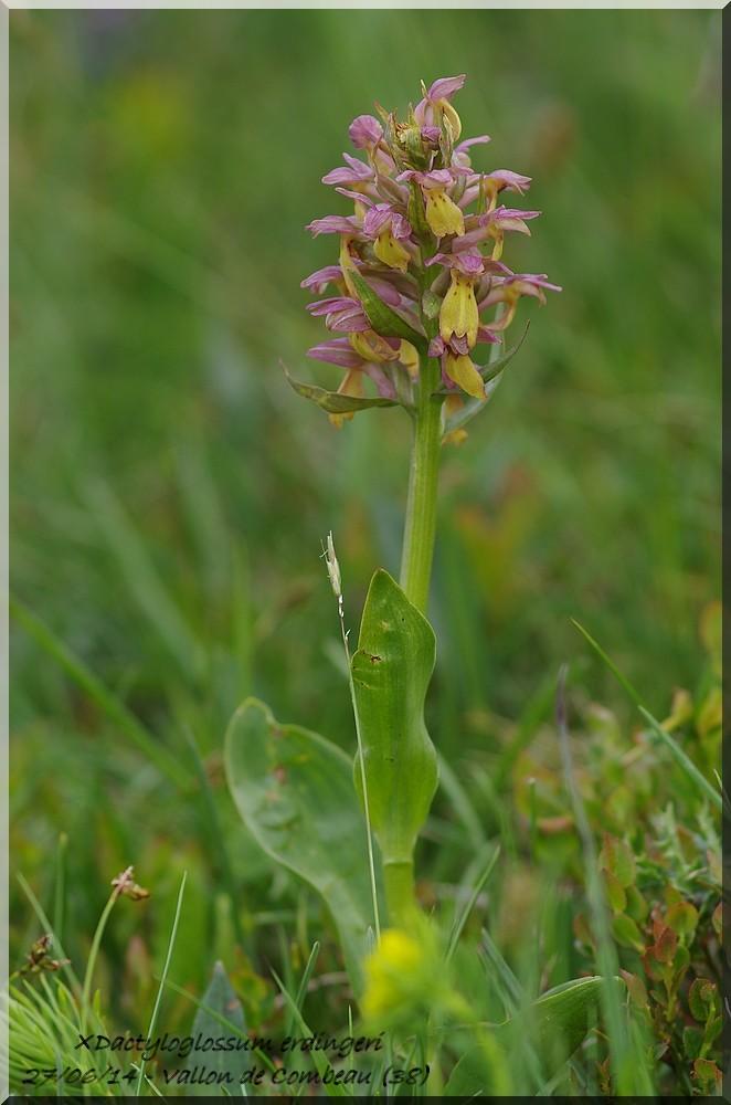 Coeloglossum viride × Dactylorhiza sambucina  Imgp1827
