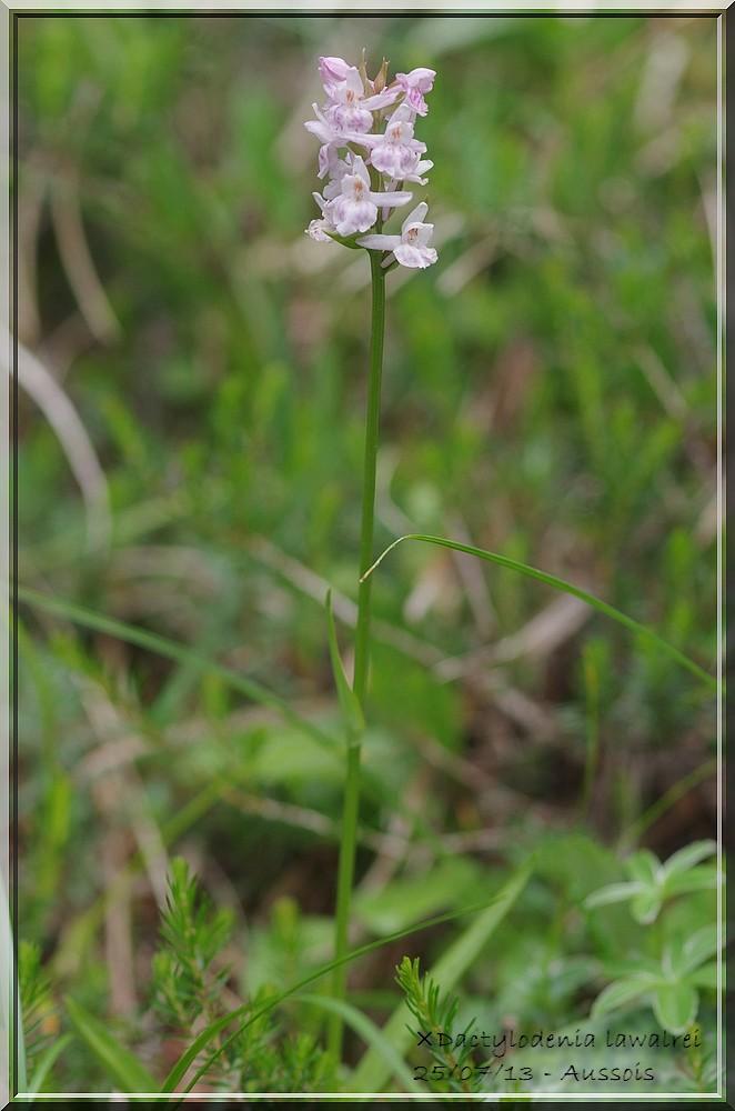 Dactylorhiza fuchsii × Gymnadenia odoratissima  Imgp4610