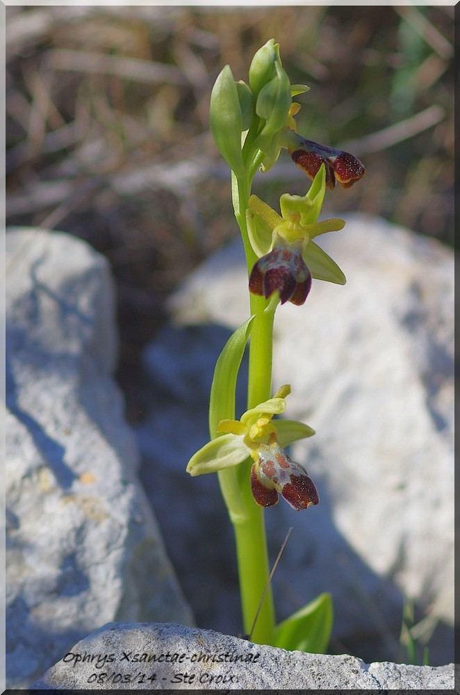 Ophrys forestieri × provincialis Imgp5910