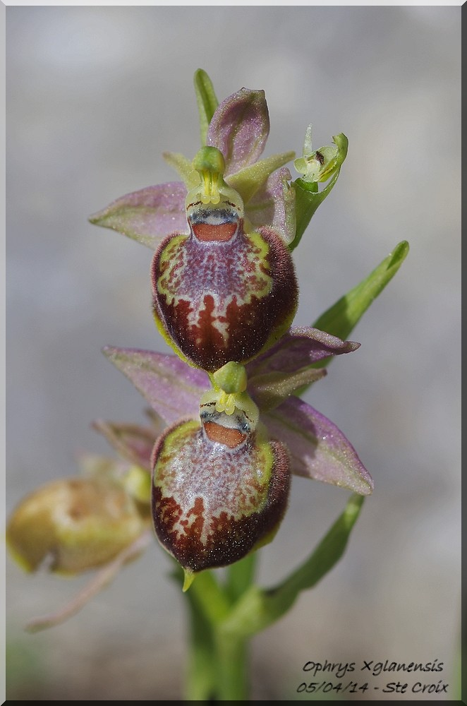 Ophrys provincialis x pseudoscolopax  Imgp7110