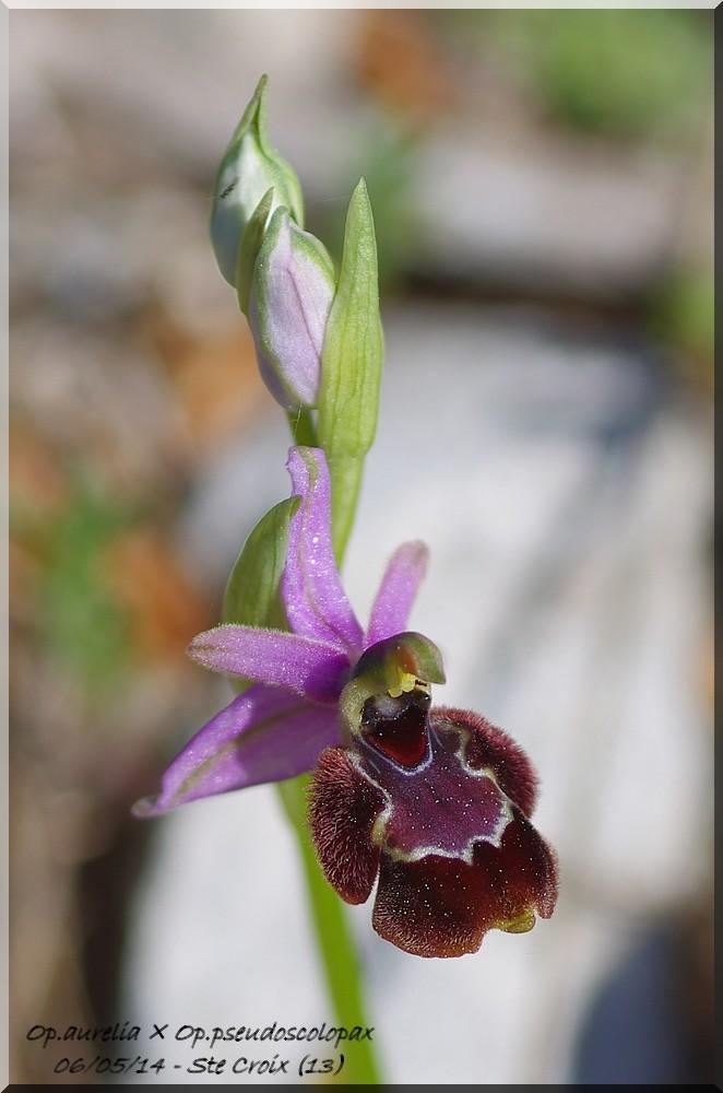 "Ophrys bertolonii bertolonii (""aurelia"")  × pseudoscolopax Imgp7510"
