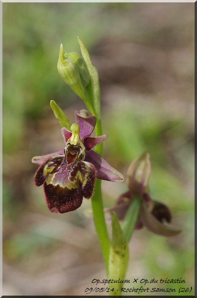 Ophrys fuciflora (SL) X speculum Imgp9413