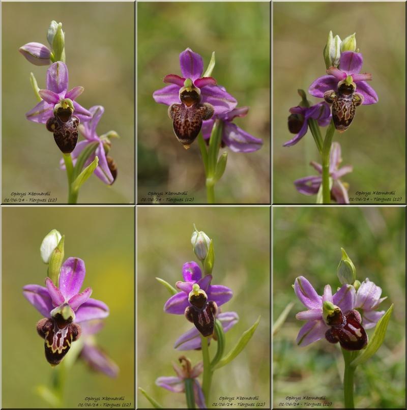 Ophrys aveyronensis × scolopax (×bernardii) Montag14