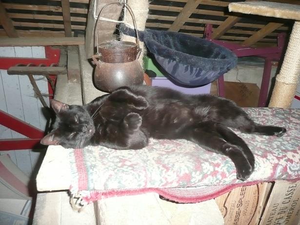 Minuit chat noir Mai 2012 FIV+ (ADPK 35) P1200111