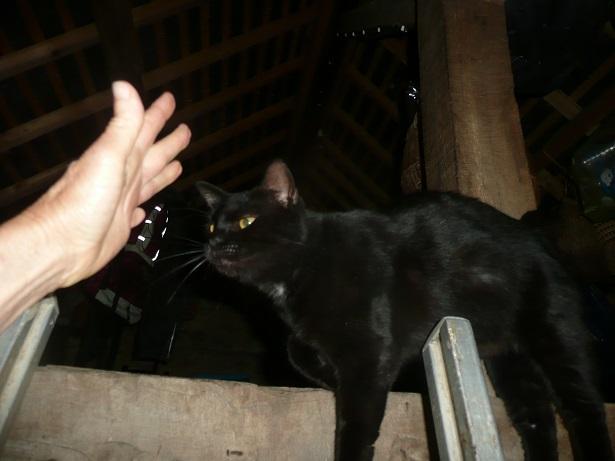 Minuit chat noir Mai 2012 FIV+ (ADPK 35) P1200213