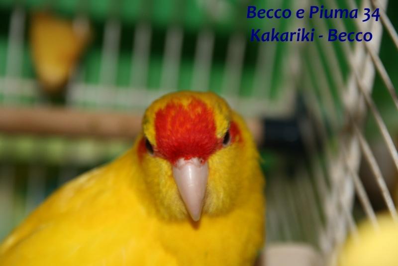 Présentation de Becco et Piuma 34 Becco_10