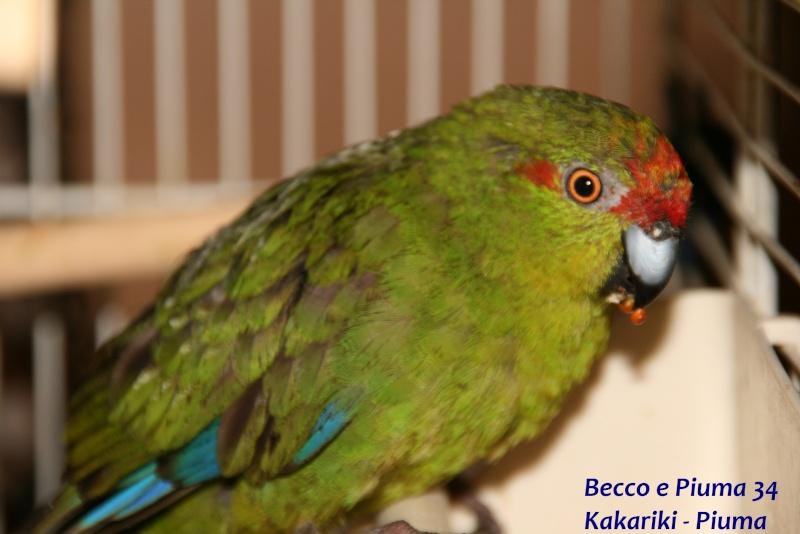 Présentation de Becco et Piuma 34 Piuma_10