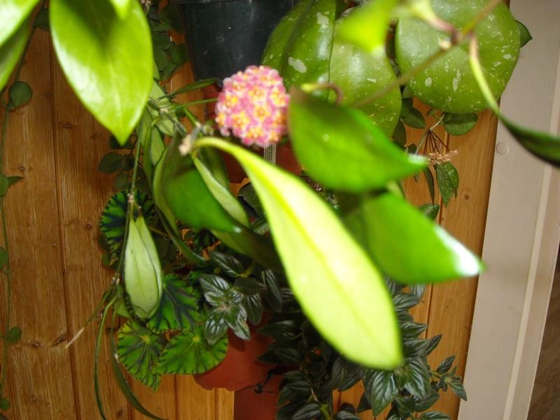 floraison de Hoya david cumingi Hoy_cu10
