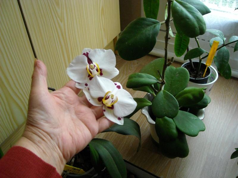 phalaenopsis elegant godess Hoy_cu12