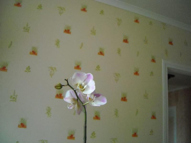 mon phalaenopsis qui fleurit Phal_010