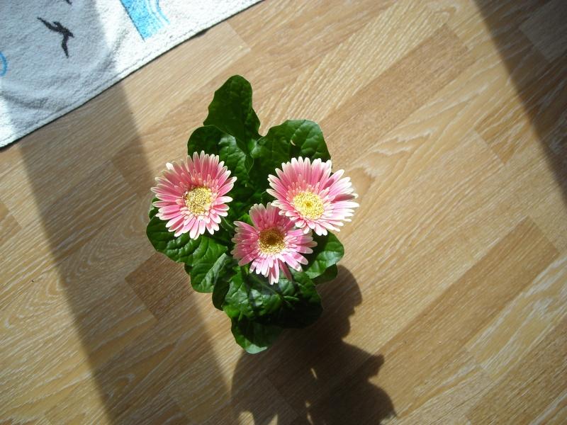 voilà ce que ma voisine vient de m'offrir,un gerbera Plant_10