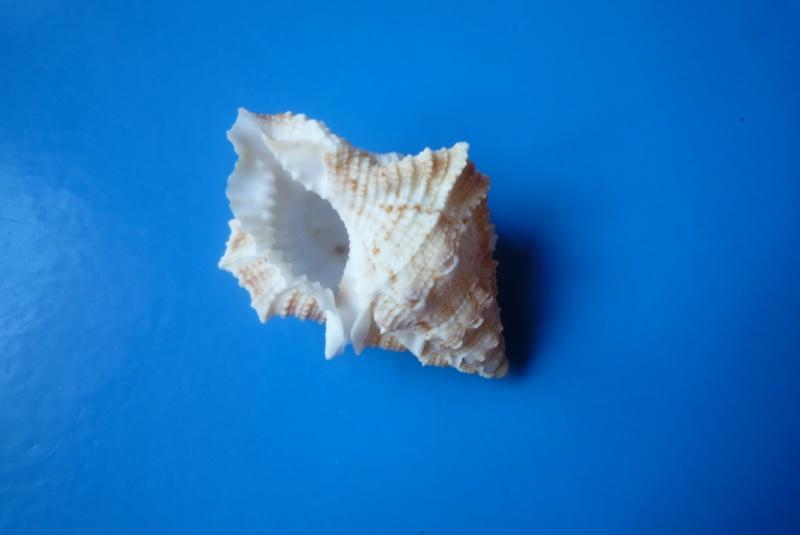 Bursina ignobilis - (Beu, 1987) Bursin11