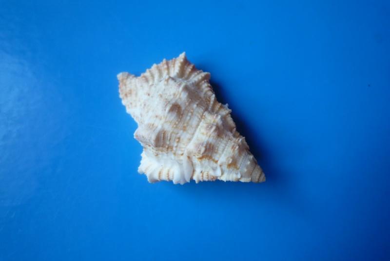 Bursina ignobilis - (Beu, 1987) Bursin12