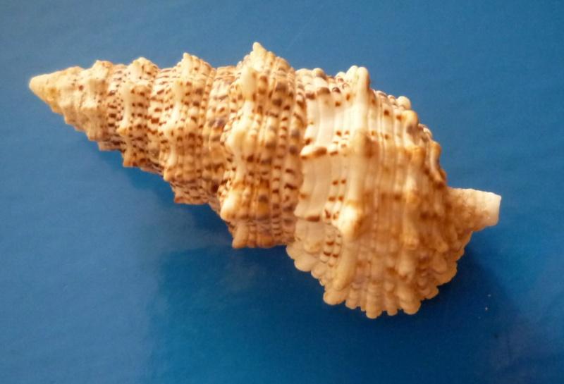 Cerithium echinatum - Lamarck, 1822  Cerith13