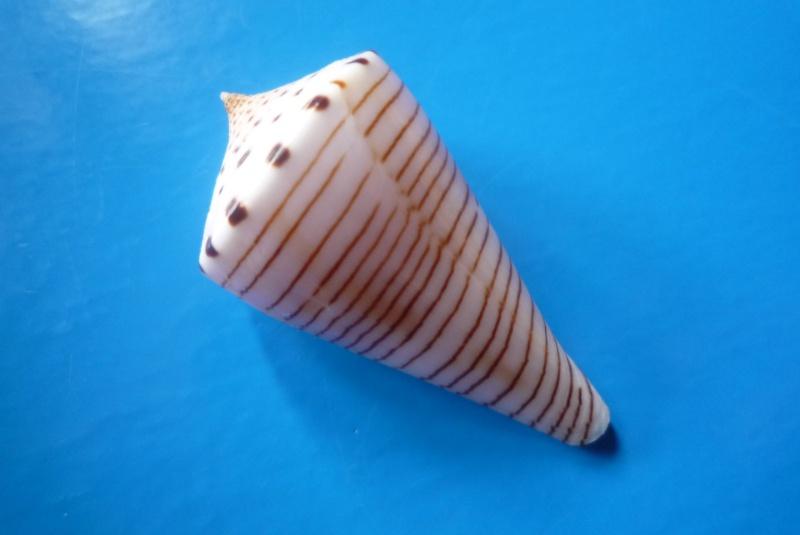 Conus (Klemaeconus) hirasei   Kuroda, 1956 Hirase12