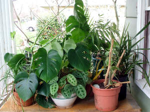 Plantes d'appartement chacune à sa place Plante10